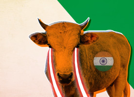 India Perturbed By Deployment Of Cattle Along China-Pak Economic Corridor