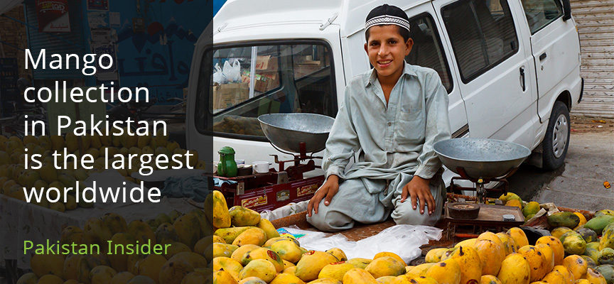 Mango collection in Pakistan is the largest worldwide